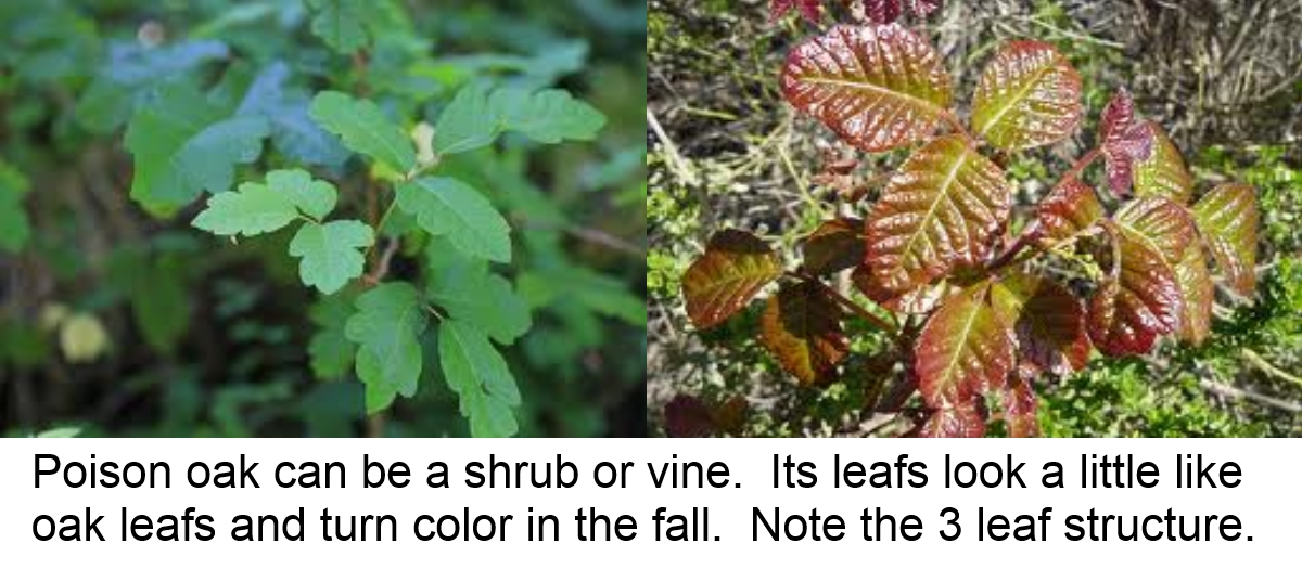 poison oak shrub